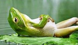 belly-breathing-frog